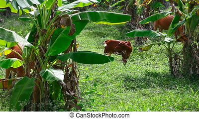 Cows. - Cows in the banana forest.