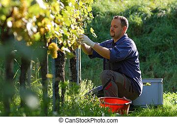 Vintner in the wineyard - Young vintner is harvesting white...