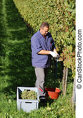 Vintner in the wineyard - Young vintner is harvesting white...