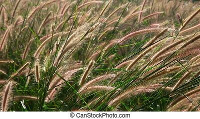 Spike grass. - Fluffy spike tropical grass. Phuket,...