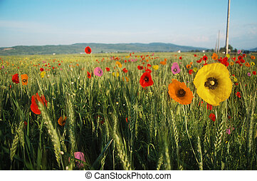 multicolored poppy meadow - multicolored poppies on a wheat...