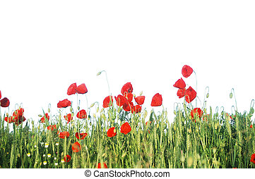 Poppy meadow - Wild red poppies isolated on white...