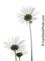 ox-eye daisy isolated on white background