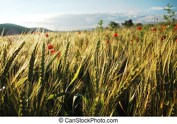 wheat field in summer - wheat field with red poppies in...