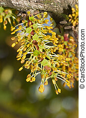 blossom flowers of the carob tree - Close view of the...