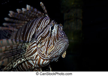 Lion fish in aquarium - Lion fish swimming slowly in an...