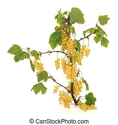 White Currant Fruit - White currant fruit branch isolated...
