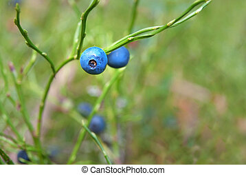 Bilberries - Close up of bilberries in forest, with copy...