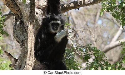 Gibbon monkey hanging in a tree