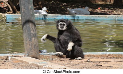 Gibbon monkey played with paper near lake