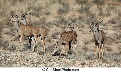 Kudu antelopes - Group of kudu antelopes Tragelaphus...