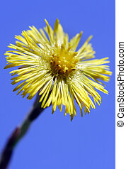 coltsfoot close up