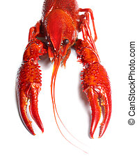 red crawfish on white background