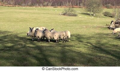 Sheep on a hill - Flock of sheep in a field running around...