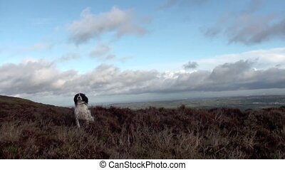 Dog Jumping - English springer spaniel dog jumping around in...