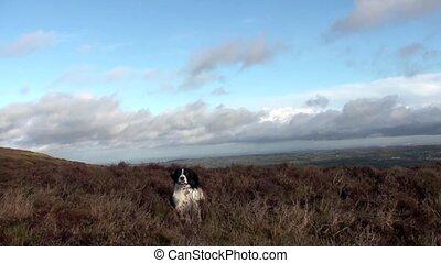 Dog Jumping - English springer spaniel dog jumping around in...