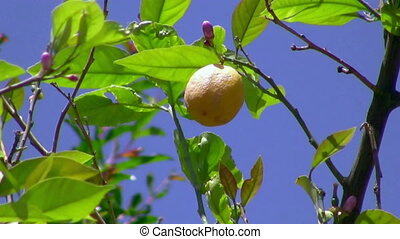 Lemon Branch - Branch of Lemon Tree has lemon flowers and...