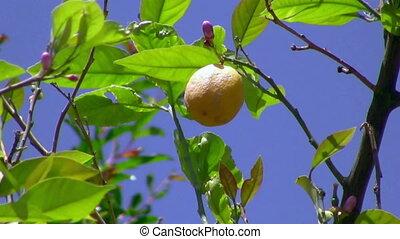 Lemon Branch - Branch of Lemon Tree has lemon flowers and...