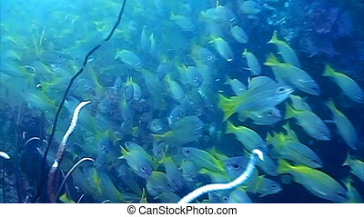Yellowtail snapper gather together in a large school