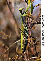 Mantis Religiosa - Close view of a beautiful mantis...