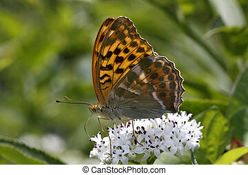 Silver-washed fritillary (Argynnis) - Silver-washed...