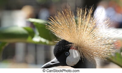 Crowned crane in the zoo of Israel