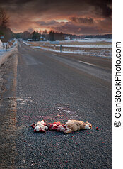 road killed animal - animal on asphalt road hit by a car