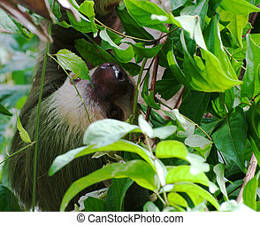 Two-Toed Sloth (Choloepus didactylus) Peeking Out Through...