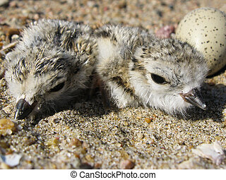 Piping Plover Chicks - Piping plover (Charadrius melodus)...