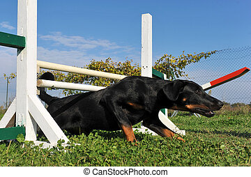puppy beauceron in agility - young purebred french shepherd...
