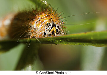 Arctia caja larva Caterpillar crawls along a branch