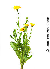 calendula, marigold isolated on white