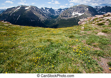 Alpine Avens on the mountain meadow in Rocky Mountains Trail...