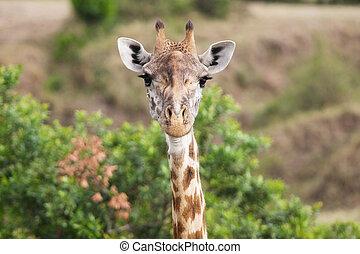 Giraffe (Giraffa camelopardalis) - Giraffe Masai race...