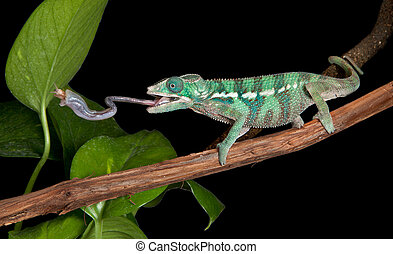 Chameleon catches cricket - A panther chameleon baby is...