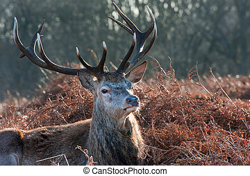 Red deer stag portrait in Autumn Fall Winter forest...