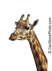 Giraffe - An isolated photo of a giraffe's neck and head