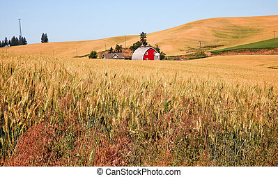Red Barn in Ripe Wheat Field Palouse Washington State - Red...