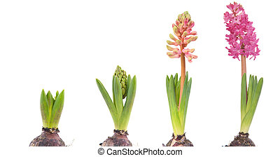 Growing pink Hyacinths with flower bulb in time laps