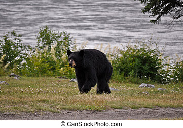 Bear Walking 2