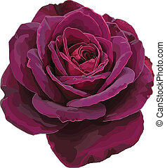 Purple rose vector isolated on a white background