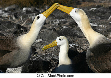 Waved Albatross (Phoebastria irrorata) in the Galapagos...