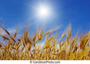 wheat  - Wheat ears against the blue  sky