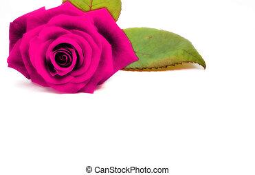 Purple rose - Designed purple rose.
