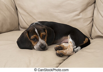 ondulado, cima, beagle
