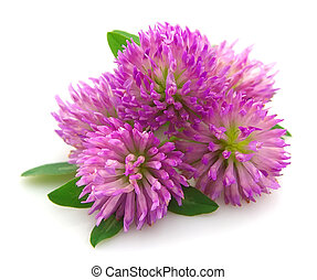 Red clover flower on white close up