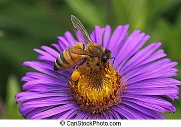 European honey bee on Aster, German