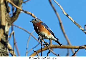 Bluebird - A bluebird perched on a branch