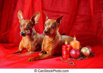 Two Red Miniature Pinschers - Miniature Pinschers on a red...