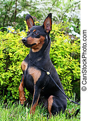 Miniature Pinscher - The Miniature Pinscher (Zwergpinscher,...
